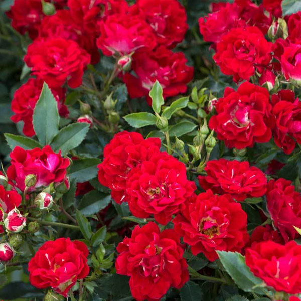 Red Drift Rose