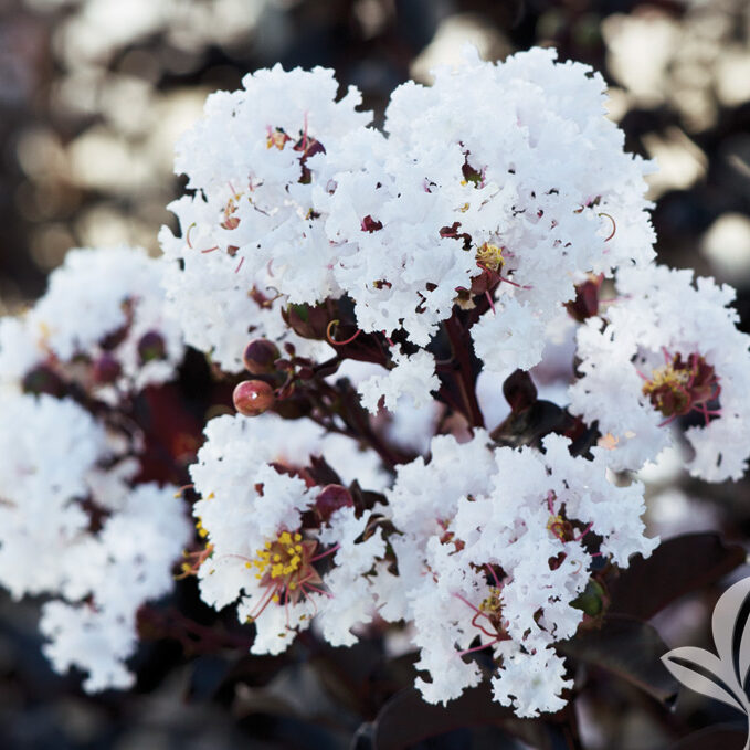 Ebony and Ivory Crapemyrtle
