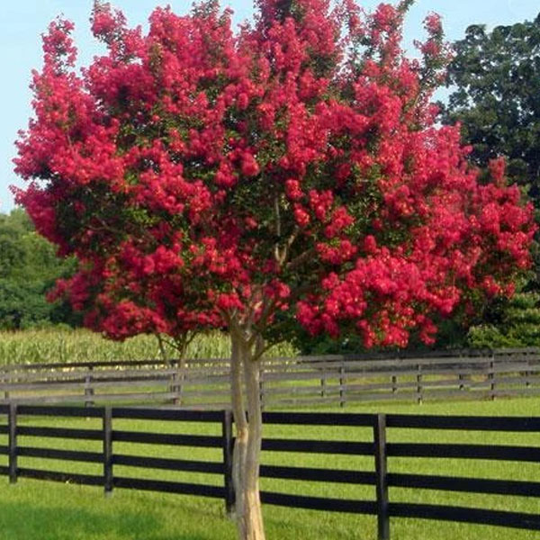Princess Holly Ann Crapemyrtle