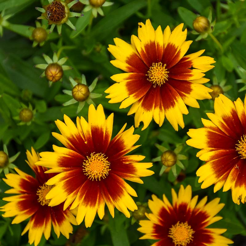 Upstick Gold Bronze Coreopsis