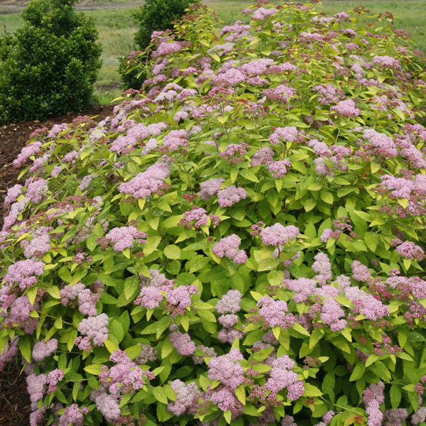 Double Play Big Bang Spirea