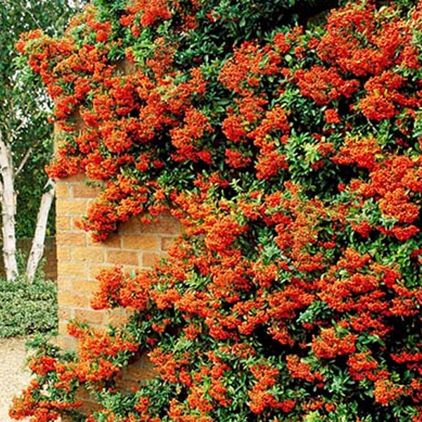 Mohave Pyracantha Espalier
